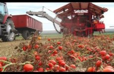 canned-tomatoes-tomato-farming-h-230×150